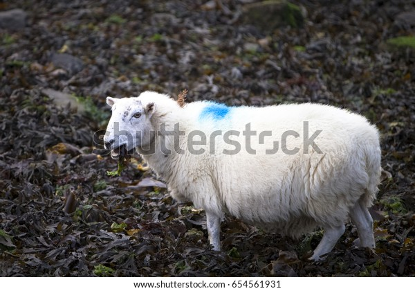 Seaweed Eating Sheep