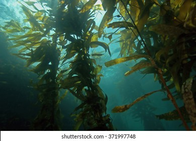 Seaweed kelp floating at California underwater ocean reef