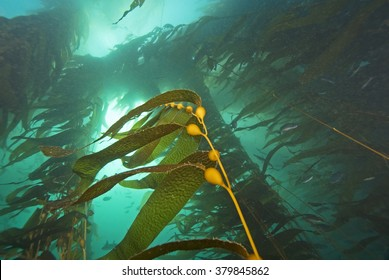 Seaweed kelp forest underwater at Catalina Island