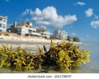 Seaweed on the beach of Figure Eight Island, NC