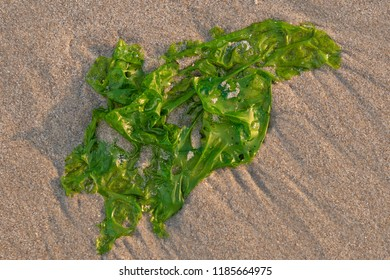 Seaweed on the beach of Ouddorp, Goeree Overflakkee, The Netherlands