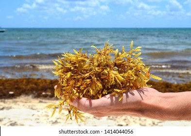 Seaweed sargassum close up in a hand