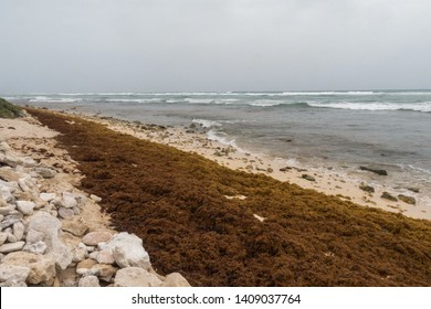 Seaweed sargassum cover a big portion of the beach in Cancun Mexico, is a big problem caused for the climate change