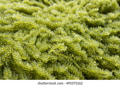 """It's a seaweed, sometimes also called """"sea grapes,"""" """"ocean grapes,"""" or """"Umibido"""" (in Japan), which has the texture of caviar and even looks like caviar."""