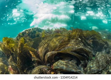 Seaweed,background drift ice