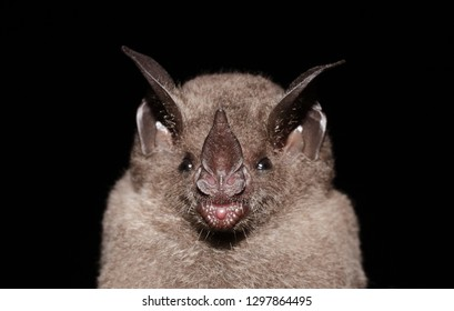 Seba's short-tailed bat (Carollia perspicillata) is a common and widespread bat species in the family Phyllostomidae.They are found in Central America, South America, and in the Antilles islands.
