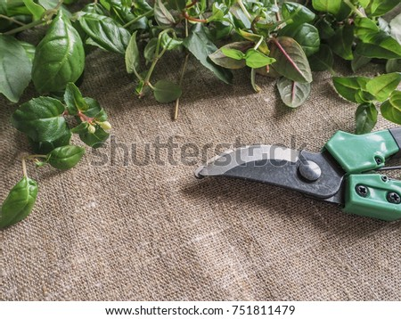 Secateurs and cut the sprouts of the plant. Plant breeding fuchsias.