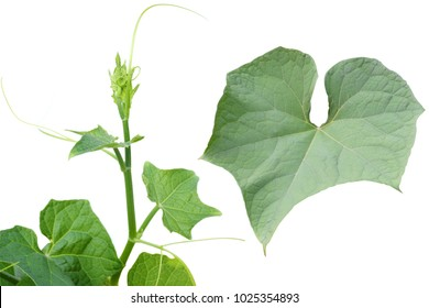 Sechium edule, Top leaf of Chayote on white background.