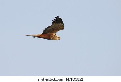 Second calendar year male Western Marsh Harrier (Circus aeruginosus) in flight at Agersø, Denmark.
