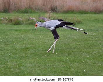 Secretary Bird feeding (Sagittarius serpentarius)