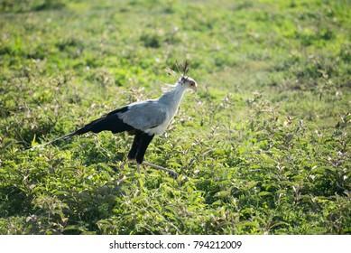 Secretary bird in green grass