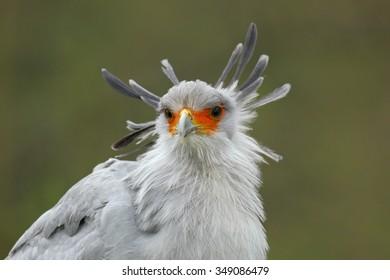 Secretary Bird Sagittarius Serpentarius Portrait Of Nice Grey Prey With Orange Face