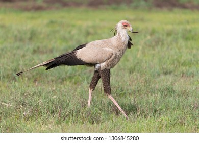 Secretary bird in the Serengeti Plains of Tanzania
