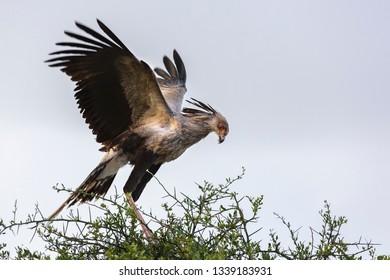 Secretary bird sitting on a acacia tree