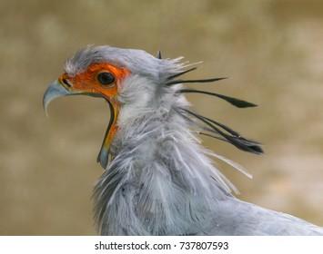 Secretary Bird Squawking!