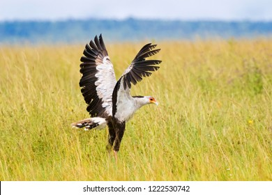 Secretarybird bird with black crest on head, long pink legs and black skirt landing in open grassland at Serengeti National Park in Tanzania, East Africa