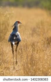 Secretarybird - Sagittarius serpentarius, iconic bird from African savannas, Etosha National Park, Namibia.