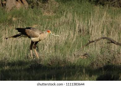 The secretarybird or secretary bird (Sagittarius serpentarius)  walking and hunting in the green grass in kalahari desert.
