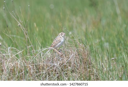 A Secretive Baird's Sparrow Perched on an Exposed Clump of Grass in a Grassland Meadow in Northern Colorado