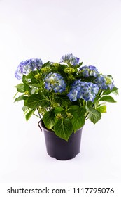 A sectional blue hydrangea in a pot