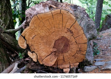 Sectioned tree trunck in a forest