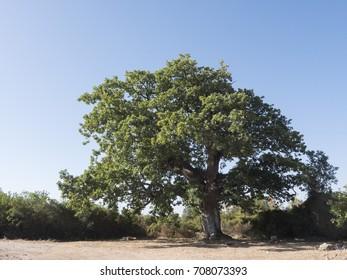 A secular oak in Sardinia
