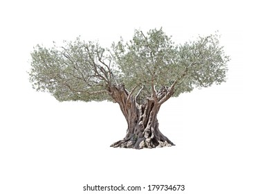 Secular Olive Tree with large and textured trunk on white background.