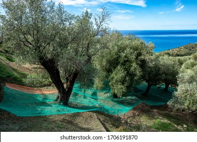 secular olive trees and nets for the harvest of the olives on the Tyrrhenian coast of Mediterranean sea. Pisciotta, Cilento, Salerno, Campania, Italy.