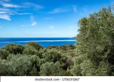 secular olive trees on the Tyrrhenian coast of Mediterranean sea. Pisciotta, Cilento, Salerno, Campania, Italy.