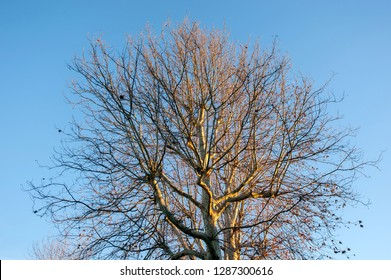 secular plane tree without leaves