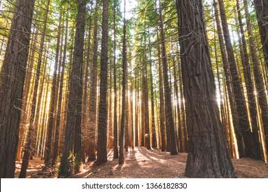 secuoyas park, sequoias park with sunbeams