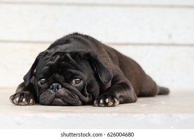 Security pug dog.Funny pug dog lying to guard office on concrete floor.