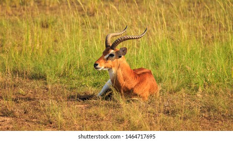 a sedentary male Ugandan Kob in golden light, Murchison Falls NP