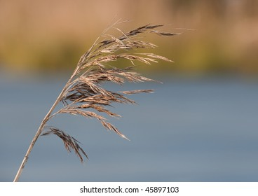 Sedge against water and reed bed