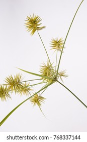 Sedge on white background