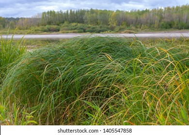 Sedge thickets on the banks of the Tom river, Kemerovo region