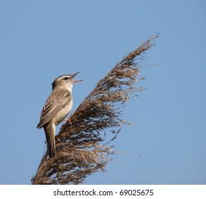 A Sedge Warbler  (Acrocephalus schoenobaenus) singing