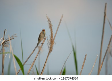sedge warbler chirping full throated in the reed - Burgenland Austria