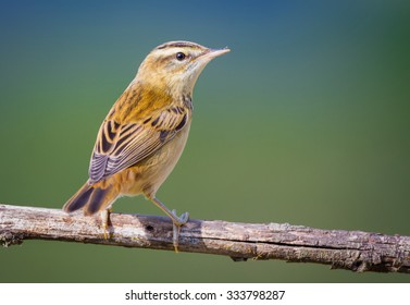 The Sedge Warbler II