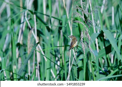 Sedge warbler looking for food in saxon upper lusatia.
