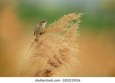 Sedge warbler on reed