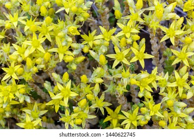 Sedum acre with bright yellow flowers. Biting stonecrop, wall pepper .