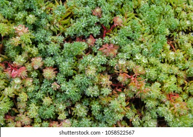 Sedum acre green and red plant background
