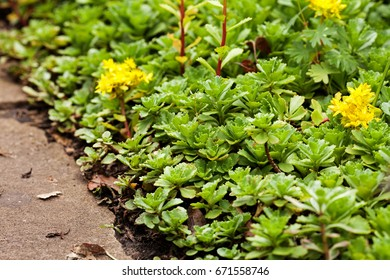 Sedum acre plant stonecrop wallpepper bloom stock photo royalty sedum acre plant stonecrop or wall pepper in bloom with yellow flowers on mightylinksfo Images