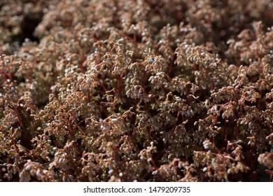 Sedum album stonecrop blooms in spring