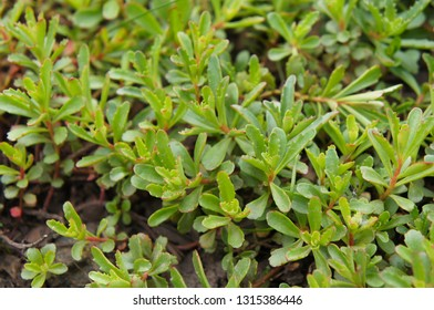 Sedum kamtschaticum middendorffianum green plant