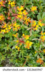 Sedum kamtschaticum middendorffianum or russian stonecrop yellow flowers with green plant