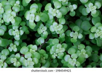 sedum makinoi ogon, limelight, Japanese stonecrop . It has rosette, bright limelight color and heart shaped foliage.