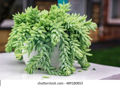 Sedum morganianum Burro's Tail Donkey's Tail Lamb's Tail Horse's Tail World Succulent plant in family Crassulaceae native to Mexico Closeup Sedum Nudum Aiton Cactus trailing stems with red flowers