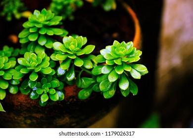 Sedum palmeri or Sedum compressum Rose in flower pot.